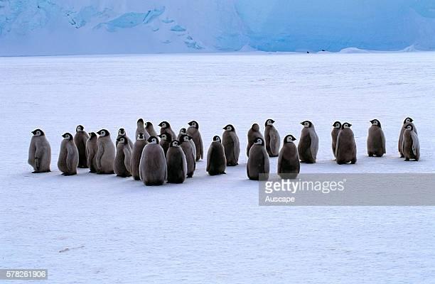 Emperor penguin Aptenodytes forsteri chicks molting Cape Roget Ross Sea Antarctica