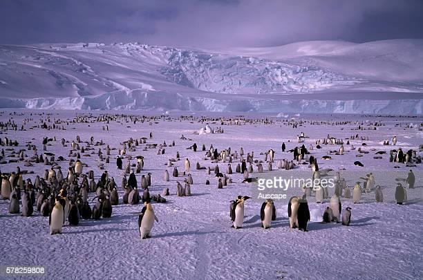 Emperor penguin Aptenodytes forsteri colony Ross Sea Antarctica