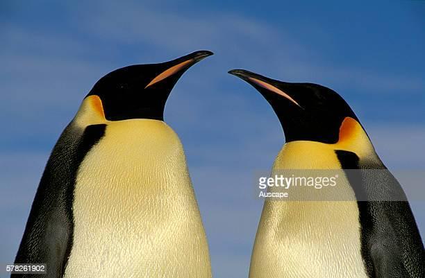 Emperor penguin Aptenodytes forsteri pair displaying Cape Roget Ross Sea Antarctica