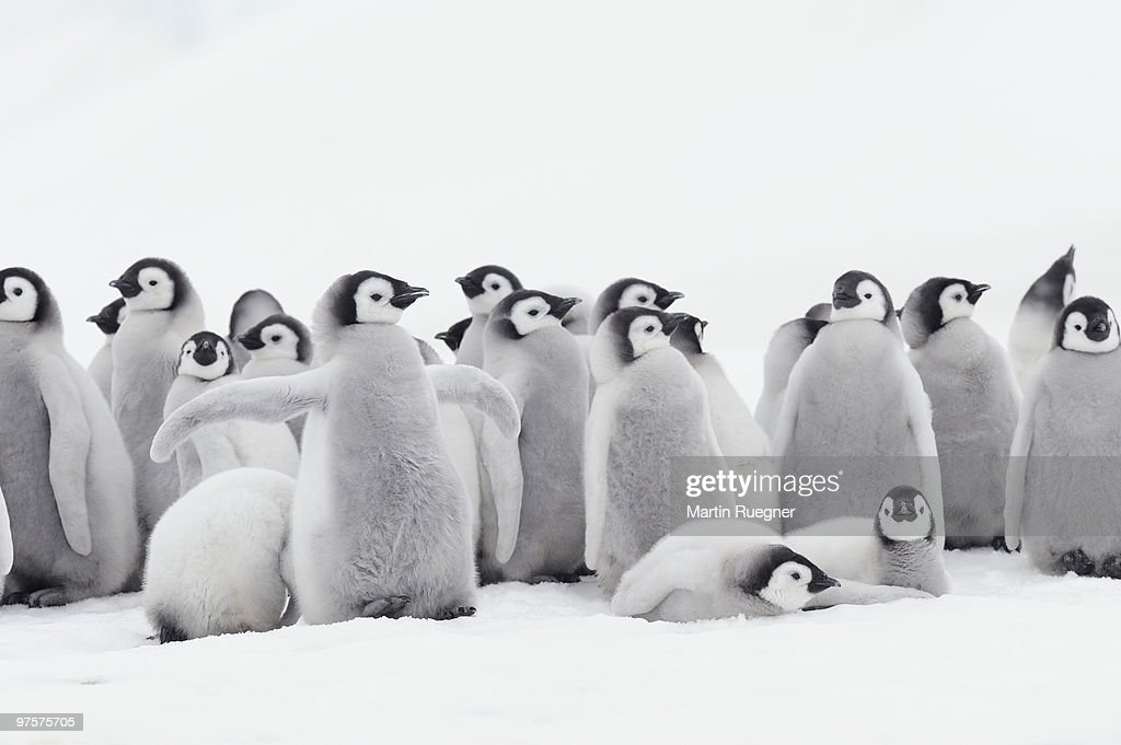 Emperor penguin chicks. : Stock Photo