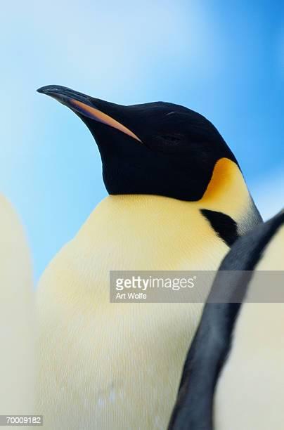 Emperor penguin (Aptenodytes forsteri), close-up