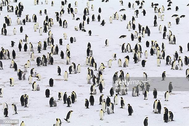 Emperor penguin colony (Aptenodytes forsteri)