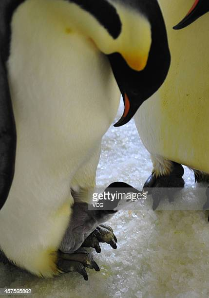 A Emperor Penguin feeds a baby at Laohutan Ocean Park on August 23 2011 in Dalian Liaoning Province of China Two Emperor Penguin babies were born in...