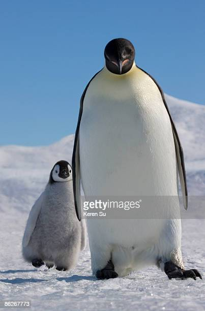 Emperor Penguin parent and chick on ice