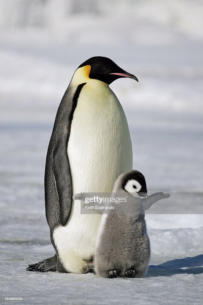 Emperor Penguin with Chick : Stock Photo