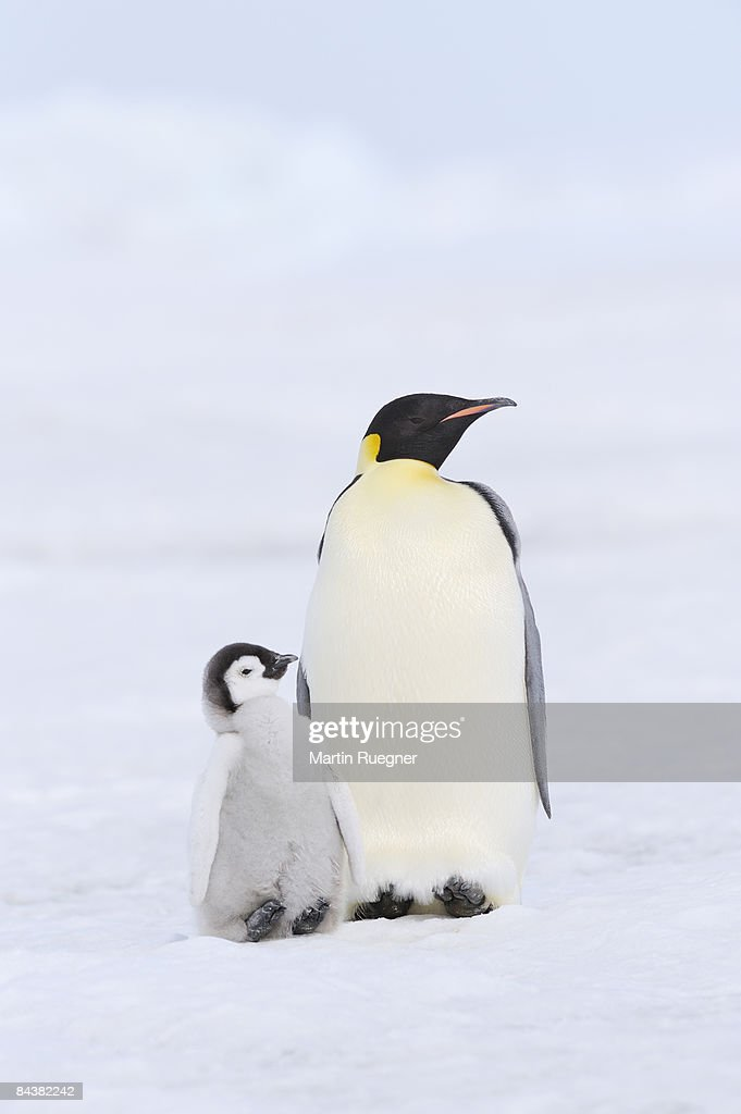 Emperor penguin with chick.