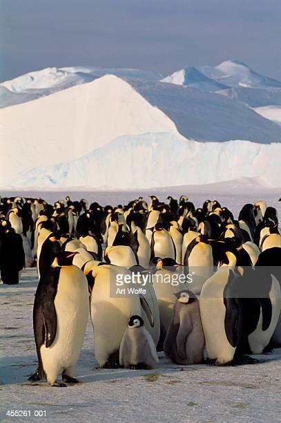Emperor penguins (Aptenodytes forsteri), Antarctica
