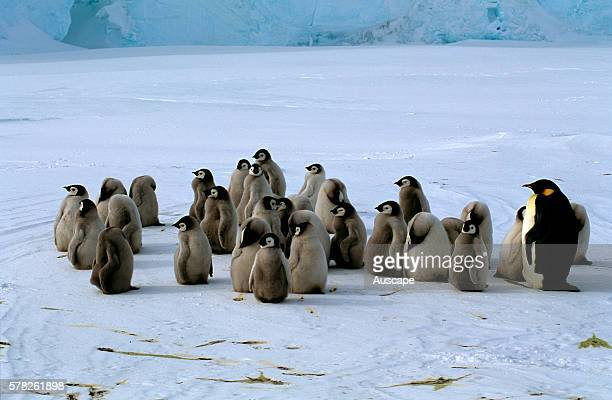 Emperor penguins Aptenodytes forsteri chicks Cape Roget Ross Sea Antarctica