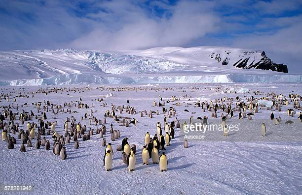 Emperor penguins Aptenodytes forsteri colony Cape Roget Ross Sea Antarctica