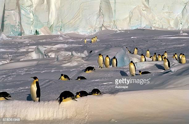 Emperor penguins Aptenodytes forsteri negotiating a snow bank Cape Roget colony Ross Sea Antarctica
