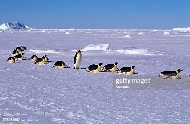 Emperor penguins Aptenodytes forsteri toboganning Cape Roget Ross Sea Antarctica