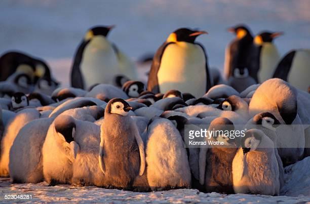 Emperor penguins -Aptenodytes forsteri- with chicks, Weddell Sea, Antarctica