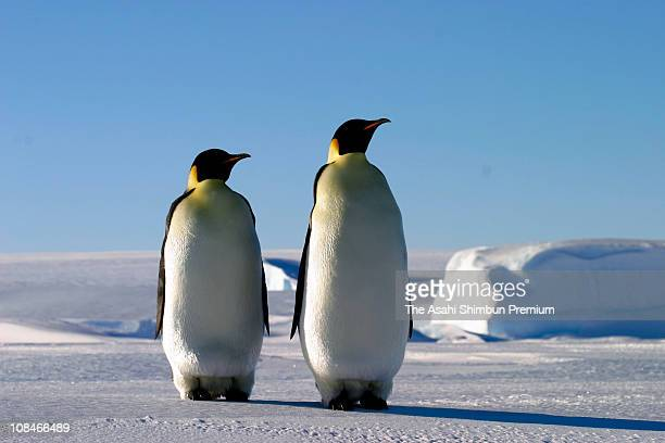 Emperor Penguins are seen at the Showa Station on September 15 2004 in Antarctica
