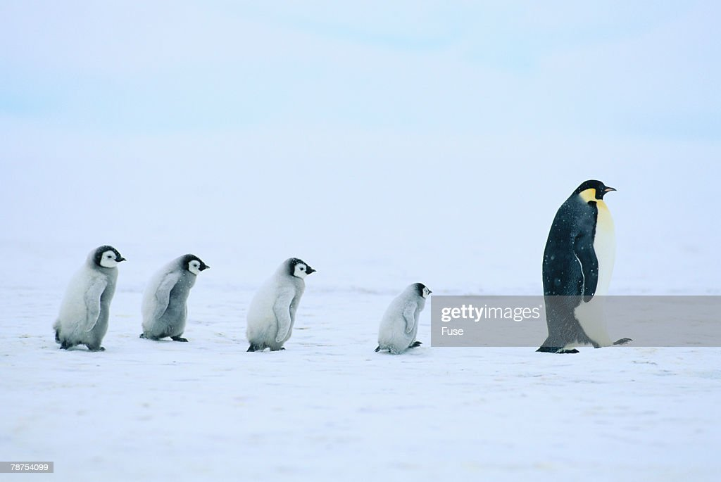 Emperor Penguins Following an Adult
