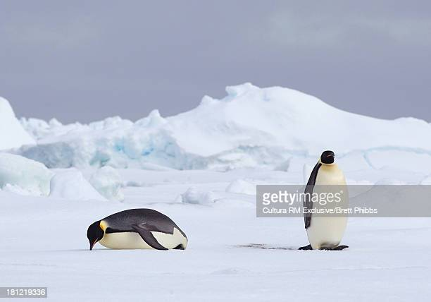 Emperor Penguins on iceberg, ice floe in the southern ocean, 180 miles north of East Antarctica, Antarctica