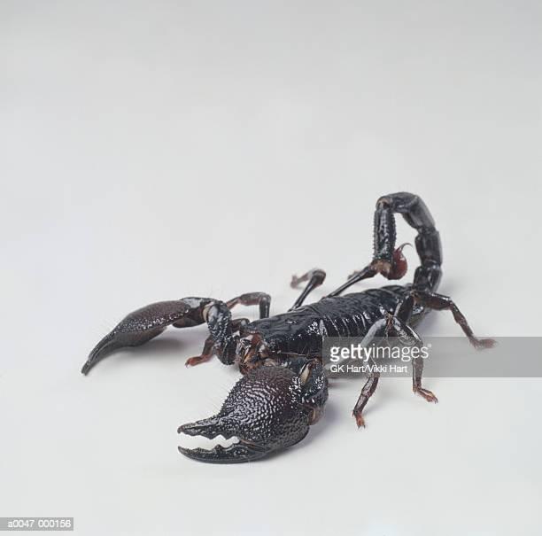 skorpion stock fotos und bilder getty images. Black Bedroom Furniture Sets. Home Design Ideas
