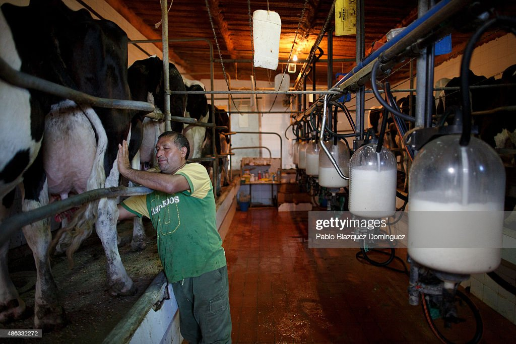 Employee Alberto cleans the udder of a dairy cow before milking it at a farm on August 31, 2015 in Fuentespreadas, near Zamora, in Spain. Many farmers are losing money from the production milk due to falling prices and cheap foreign imports. Dairy farmers are being forced out of business as they face problems with access to a salary and difficulties paying suppliers of food, mechanical and veterinary services, despite long working hours. At least 500 farmers are expected to take part in a protest march that started in Leon and will arrive in Madrid on September 4, where they will demonstrate outside the ministry of agriculture.