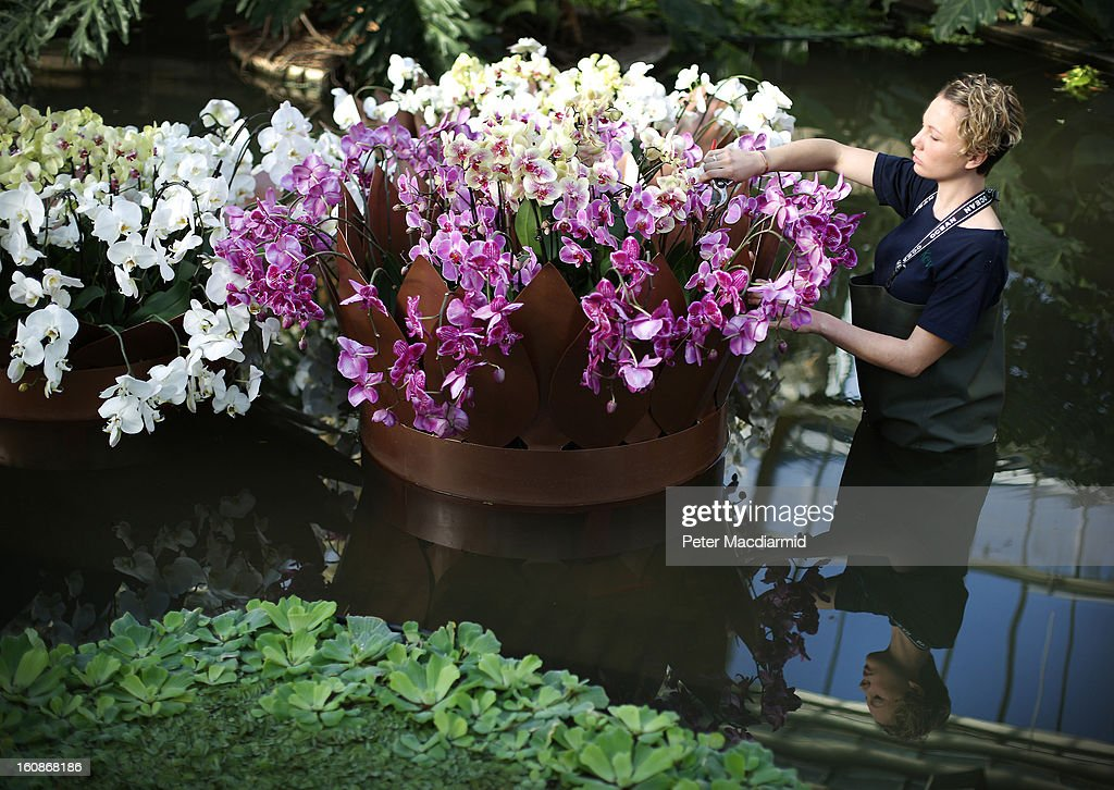 Employee Ashleigh David tends orchids in a pond for the Orchid Festival in The Princess of Wales Conservatory at the Royal Botanic Gardens, Kew on February 7, 2013 in London, England. 4500 orchids, 550 bromeliads and 350 assorted foliage plants have been installed for the Festival which runs from February, 9 to March 3, 2013.