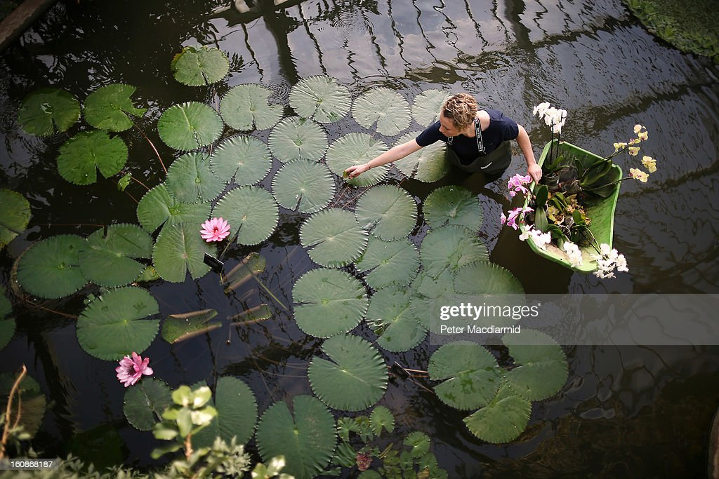 Employee Ashleigh Davis works in a pond during the Orchid Festival in The Princess of Wales Conservatory at the Royal Botanic Gardens, Kew on February 7, 2013 in London, England. 4500 orchids, 550 bromeliads and 350 assorted foliage plants have been installed for the Festival which runs from February, 9 to March 3, 2013.