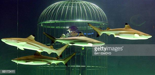 Employee of SeaworldIndonesia feeds sharks from a cage during a ceremony at its new shark aquarium to mark the park's 11th anniversary in Jakarta 30...