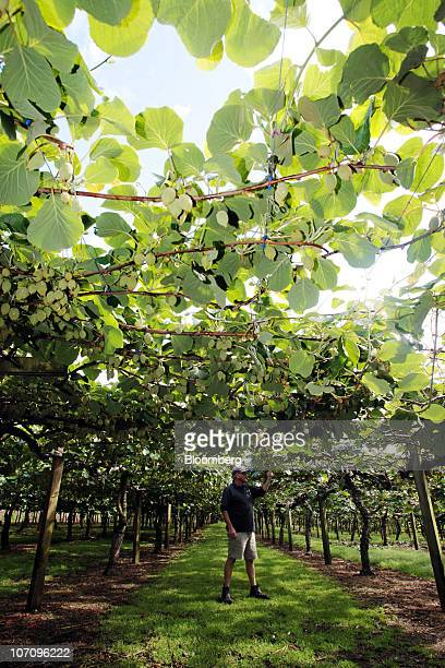 Employee Simon Elton checks over kiwifruit prior to giving a tour of the orchard at the Kiwi360 theme park in Te Puke New Zealand on Monday Nov 23...