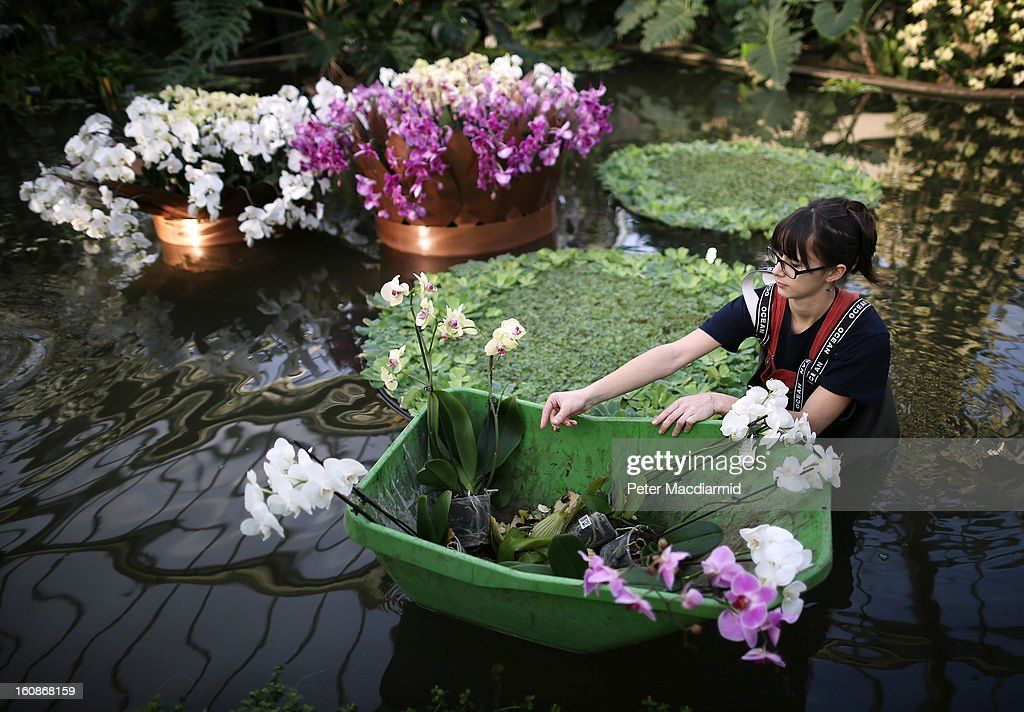 Employee Solene Dequiret tends orchids in a pond for the Orchid Festival in The Princess of Wales Conservatory at the Royal Botanic Gardens, Kew on February 7, 2013 in London, England. 4500 orchids, 550 bromeliads and 350 assorted foliage plants have been installed for the Festival which runs from February, 9 to March 3, 2013.