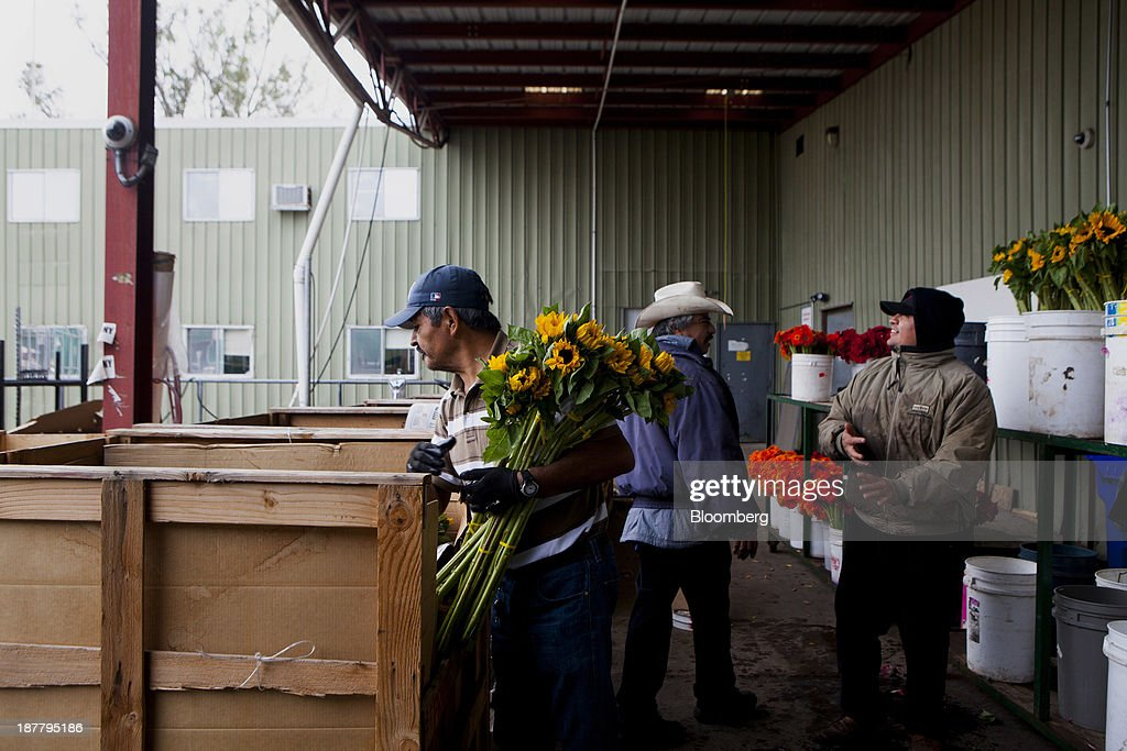 Employees bundle sunflowers at the Dramm & Echter growing facility in Encinitas, California, U.S., on Tuesday, Nov. 12, 2013. The U.S. Census Bureau is scheduled to release wholesale inventories figures on Nov. 15. Photographer: Sam Hodgson/Bloomberg via Getty Images