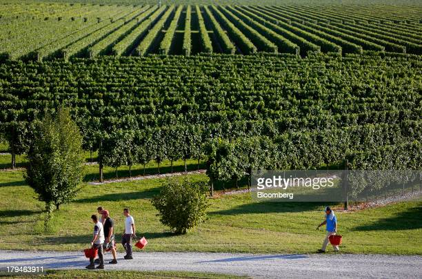 Employees carry buckets as they walk past rows of grape vines grown for their use in Prosecco wine on the first day of the grape harvest at I Magredi...