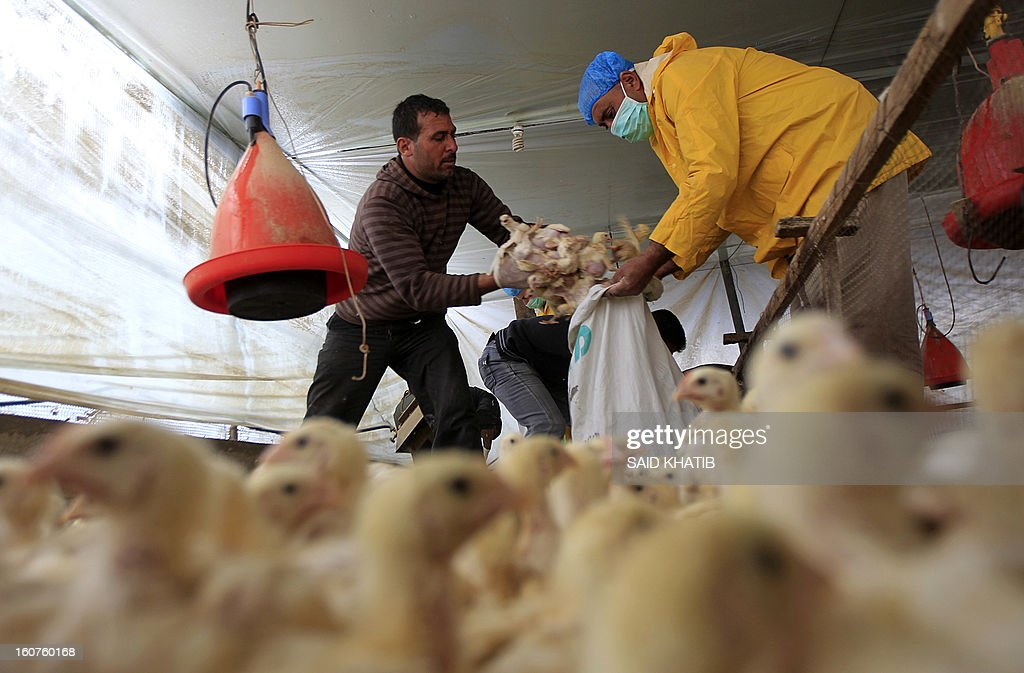Employees of the Hamas Ministry of Agriculture collect poultry that was smuggled into the Gaza Strip from Egypt by Palestinian farm owners, on February 5, 2013 at a a poultry farm in Deir al-Balah in central Gaza Strip. Hamas authorities have confiscated some 10 thousand chickens fearing the H1N1 influenza strain known as swine flu. It will take at least 10 years to eradicate the H5N1 bird flu virus, which has killed scores of humans, from poultry in the six countries where it is endemic, a UN agency said. AFP PHOTO/ SAID KHATIB