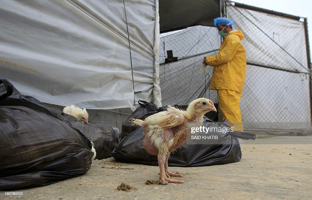 Employees of the Hamas Ministry of Agriculture collect poultry that was smuggled into the Gaza Strip from Egypt by Palestinian farm owners, on February 5, 2013 at a poultry farm in Deir al-Balah in central Gaza Strip. Hamas authorities have confiscated some 10 thousand chickens fearing the H1N1 influenza strain known as swine flu. It will take at least 10 years to eradicate the H5N1 bird flu virus, which has killed scores of humans, from poultry in the six countries where it is endemic, a UN agency said. AFP PHOTO/ SAID KHATIB