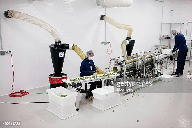 Employees perform a quality check as medical marijuana buds come out of an automated trimmer at the Tweed Inc facility in Smith Falls Ontario Canada...