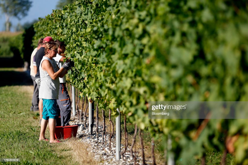 Employees pick grapes from vines, grown for their use in Prosecco wine, on the first day of the grape harvest at I Magredi vineyard in Pordenone, Italy, on Tuesday, Sept. 3, 2013. Italy's Agriculture Ministry has begun to investigate suspected sales of imitation Prosecco sparkling wine in its native Veneto region. Photographer: Alessia Pierdomenico/Bloomberg via Getty Images
