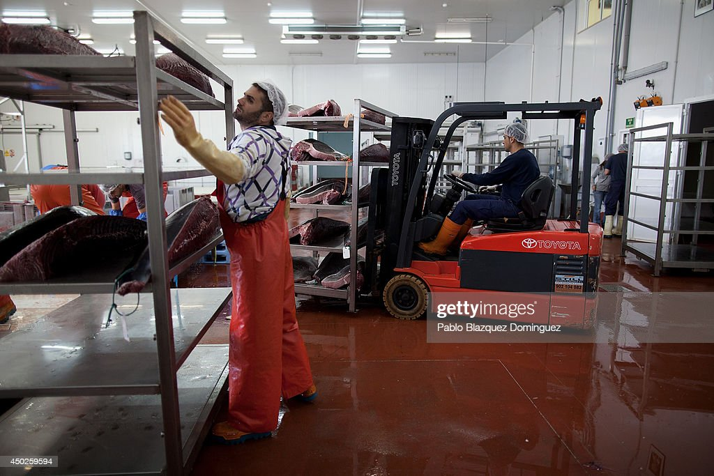 Employees prepare bluefin tuna pieces in a fish plant to be stored and frozen at minus 60 degrees Celsius of temperature during the end of the Almadraba tuna fishing season on June 3, 2014 in Barbate, Cadiz province, Spain. Almadraba is a traditional bluefin tuna fishing method in Southern Spain already used during Phoenician and Romans times. Fishers place mazes of nets to catch tuna migrating from the Atlantic Ocean to the Mediterranean Sea and select those that have the best size. Almadraba tuna is well demanded by Japanese for its quality. Today fishers use a different technique to control the catch amount by releasing many of the bluefin tunas before hauling the nets to avoid exceeding their limited quota fixed by International Commission for the Conservation of Atlantic Tunas 'ICCACT'. Almadraba fishers association claim the fishing quota could now be increased as fishers are struggling and the tuna population has recovered quite well.