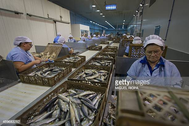 Employees prepare mackerels to be canned with a traditional precooked method on November 21 2014 at La Gondola canning plant in the Portuguese town...