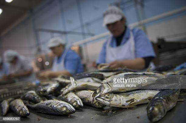 Employees prepare sardines to be canned with a traditional precooked method at La Gondola canning plant in the Portuguese town of Matosinhos near...