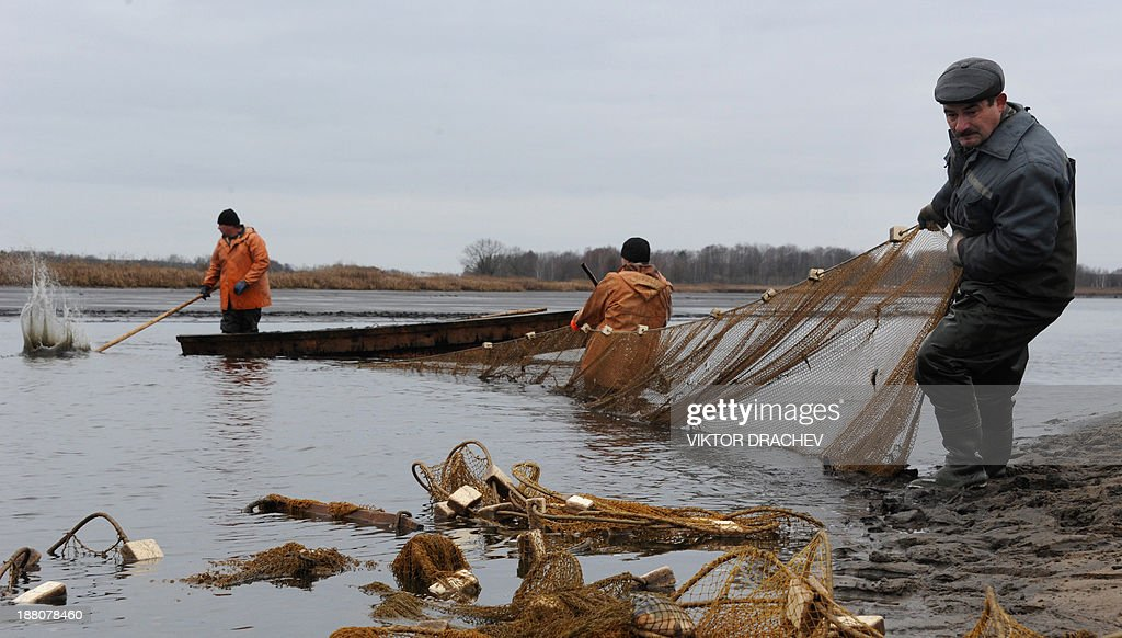 Employees pull in a net to collect fish at the carp breeding farm near the Belarus village of Ozerny, some 60 km south east of the capital Minsk, on November 15, 2013.
