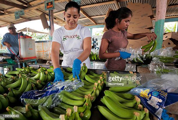 Employees sort freshly harvested bananas by size before being bagged at Farm 18 in Stann Creek Belize on Friday Feb 17 2012 The pattern of banana...