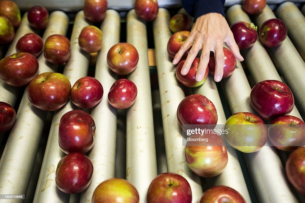 Employees sort through apples on a conveyor belt in the processing center at MacQueen Orchards in Holland, Ohio, U.S., on Tuesday, Sept. 17, 2013. Ohio is one of the top ten apple-producing states in the U.S., which overall has about 7,500 apple producers who grow nearly 100 varieties of apples on approximately 363,000 acres, according to the U.S. Apple Association. Photographer: Ty Wright/Bloomberg via Getty Images