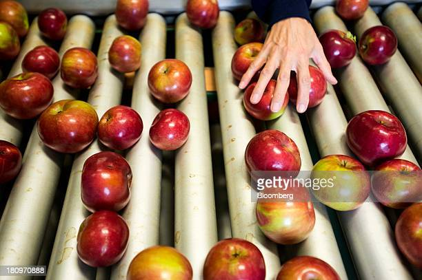 Employees sort through apples on a conveyor belt in the processing center at MacQueen Orchards in Holland Ohio US on Tuesday Sept 17 2013 Ohio is one...