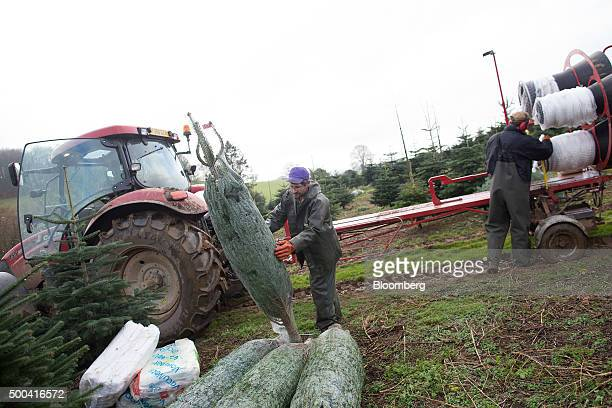 Employees use a machine to net freshly cut Christmas trees at Santa Fir Christmas Tree Farm near Guildford UK on Monday Dec 7 2015 With inflation...
