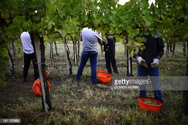 HERENSTEIN Employees work in a vineyard on September 16 2013 during the harvest in Zenevredo northern Italy Unemployed people from the region try to...