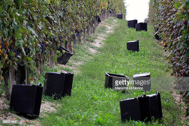 Empty bins in the vineyard on October 6 2009 in Novello near Cuneo Italy Barolo wine is produced in Cuneo province within the Piedmont region of...