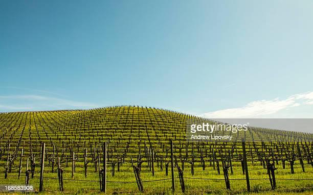 Empty Vineyard In Sanoma Valley