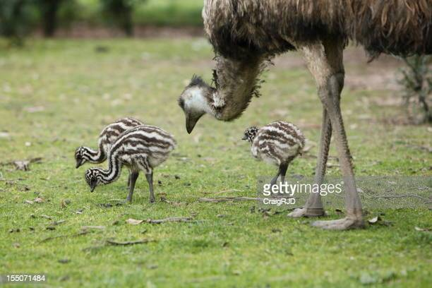 Emu and Chicks