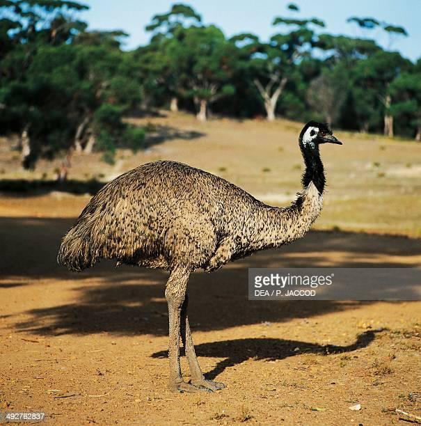 Emu Dromaiidae Kangaroo Island South Australia Australia