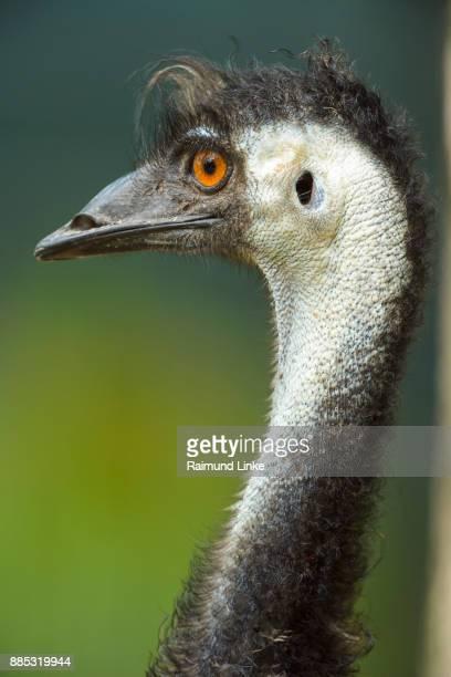 Emu, Dromaius novaehollandiae, Portrait, Rockhampton, Queensland, Australia