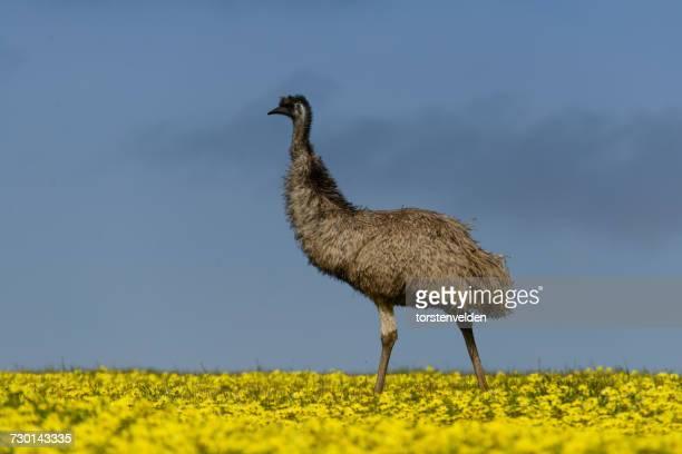 Emu in canola field, Port Lincoln, South Australia, Australia
