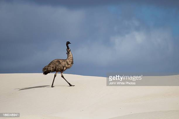 Emu in sand dunes