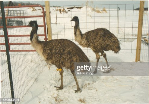 emu pair : Stock Photo