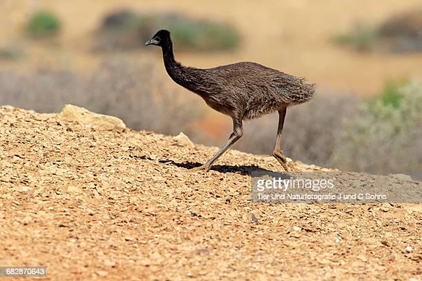 Emu, (Dromaius novaehollandiae)